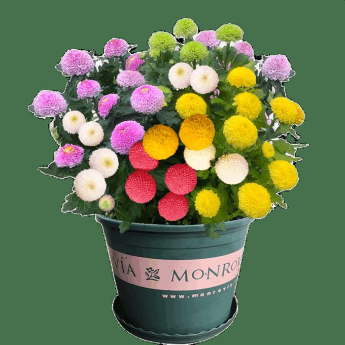 致荟树 混色乒乓菊种子 100粒 送花盆+土