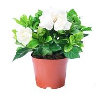 山鲜萃 栀子花盆栽 带塑料盆