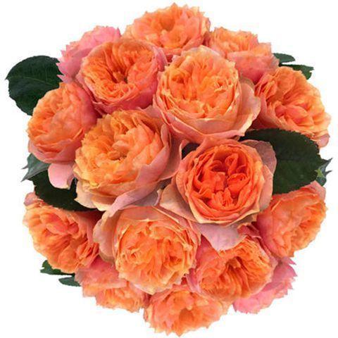 果汁阳台月季盆栽花苗微型大花果香味丰花抗病新手易养护玫瑰花苗