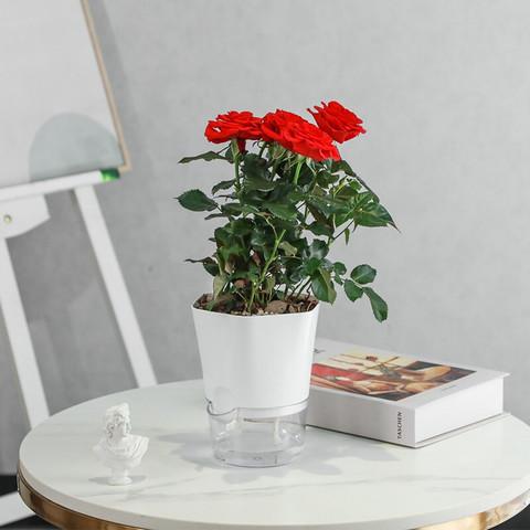 简值了 红色玫瑰花绿植盆栽