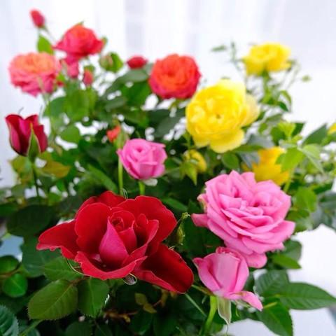 玛格丽特 苗盆栽 带花苞