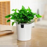 MAYSTORY 梅芝 自动吸水盆栽 绿萝