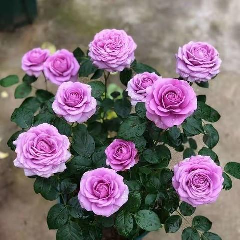 玫瑰花苗盆栽大花四季开花带花苞玫瑰月季蔷薇室内外植物