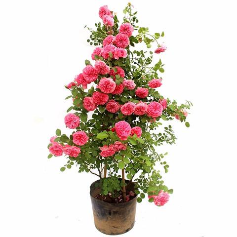 伊美花海 玫瑰花苗 欧洲藤本月季花树苗 四季开花 盆栽花卉爬藤玫瑰 树桩玫瑰 随机品种 小苗