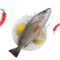 限地区:壹条鱻   斑点尾鲈(去鳃去鳞去内脏) 450g 1条
