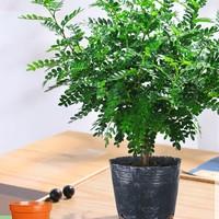 山鲜萃 清香胡椒木盆栽