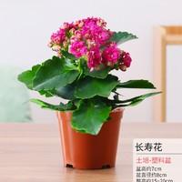 景润赉  长寿花植物盆栽