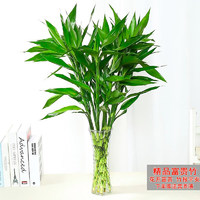 泰西丝 D5 富贵竹 10棵 不含盆 60cm
