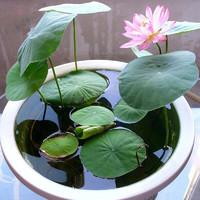 花无痕 四季花卉盆栽 碗莲水培套装