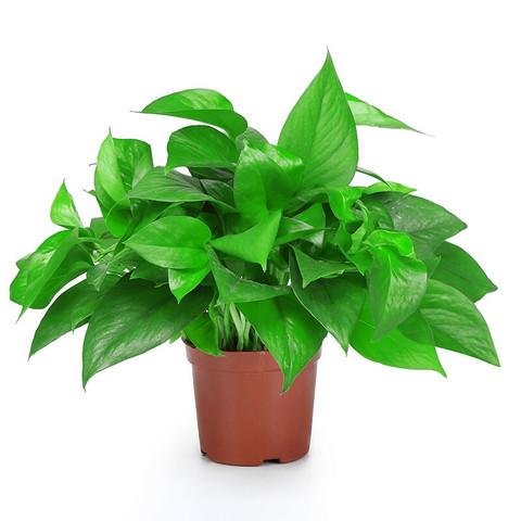 大叶精品绿萝盆栽室内吸甲醛净化空气吊兰水培植物懒人花盆 120精品绿萝 带盆栽好