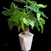 ZHONGZHEWAN 种着玩  室内植物盆栽 发财树+菱形盆