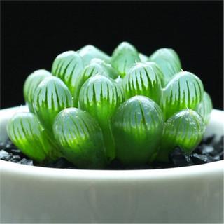 忆秋 多肉植物姬玉露 肉肉植物办公室内绿植盆栽花卉 4-5cm