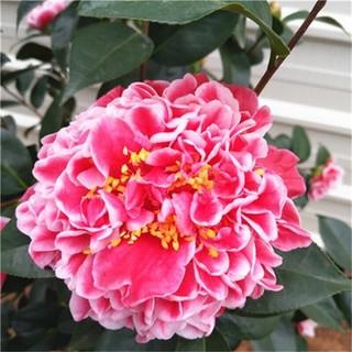 茶花香妃山茶花树苗盆栽带花苞五色赤丹植物室内好养四季开花卉浓香型 抓破美人脸 3年苗