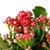 泰西丝 桃红长寿花盆栽 带花苞