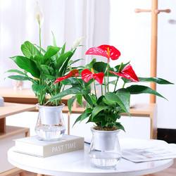 红掌白掌盆栽水培植物一帆风顺鸿运当头