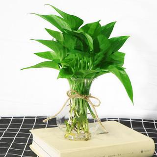 泰西丝 绿萝10株+塑料花瓶+麻绳 不含盆