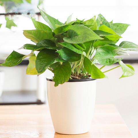 泰西丝 绿植盆栽 绿萝 文竹 发财树