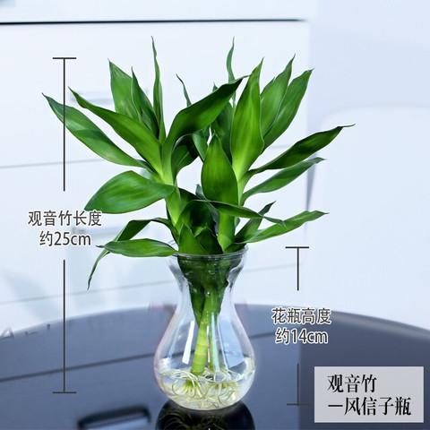 泰西丝 办公室水培绿植花卉盆栽 文竹 绿萝 吊兰 发财树