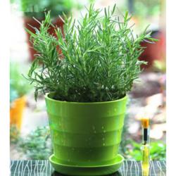 泰西丝 迷迭香一盆+螺纹盆绿色 含盆