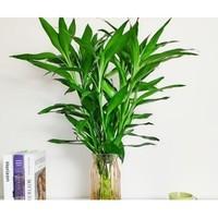 ZHONGZHEWAN 种着玩 大叶富贵竹10棵 60-70cm