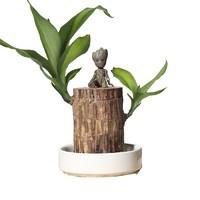 惜林园 白色瓷盆+5-6cm巴西木+格鲁特+营养液