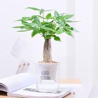 泰西丝 办公室绿植树小盆景 早安盆+发财树