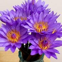 移动端:香昔庄园 紫色睡莲鲜花