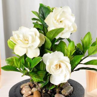 艺芯园 栀子花盆栽 含懒人盆