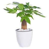品盛 室内发财树盆栽