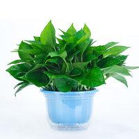 艺芯园 盆栽套装 蓝色加厚盆绿萝+储水盆