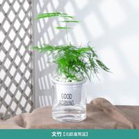惜林园 室内四季好养植物 文竹透明盆2盆