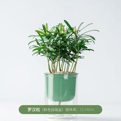 迷糊妞 罗汉松盆栽 12-14cm 送盆