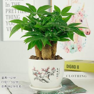 发财树盆栽室内客厅桌面小盆景大发财树苗树吸甲醛植物 寒梅傲雪盆+三杆发财树