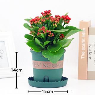 泰西丝 重瓣阳台办公室内桌鲜花卉小盆栽绿植物好养四季开花 (加仑盆)大盆红色 含盆