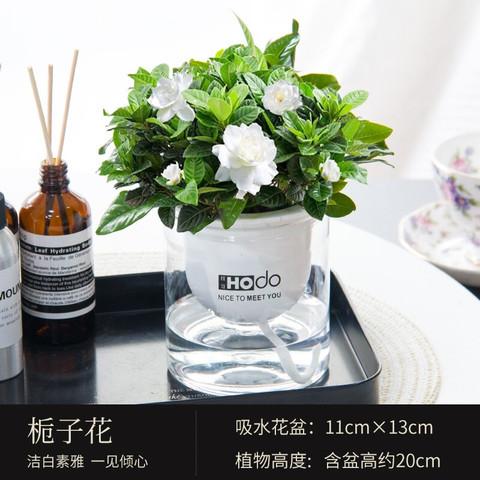 Hodo 红豆 京东自营 栀子花盆栽带盆载好发货包邮