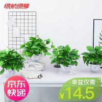 绿航绿萝 室内客厅盆栽水培植物除甲醛空气净化绿色植物大叶绿箩绿植家居百搭 带盆栽好