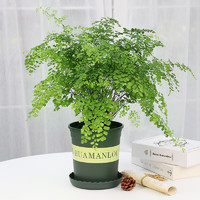 若绿 室内盆栽绿植花卉植物 铁线蕨+加仑盆 含盆