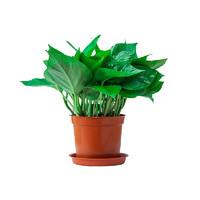 康魅 绿萝盆栽 11cm