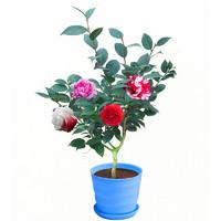 仟草集 花卉水培土培植物 小茶花