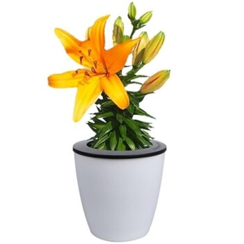 花无痕 百合花种球盆栽 黄色百合 懒人盆 土