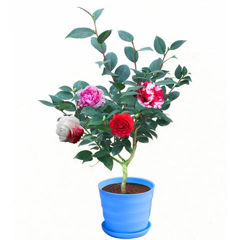 仟草集 光瓜栗24款盆栽 小茶花苗