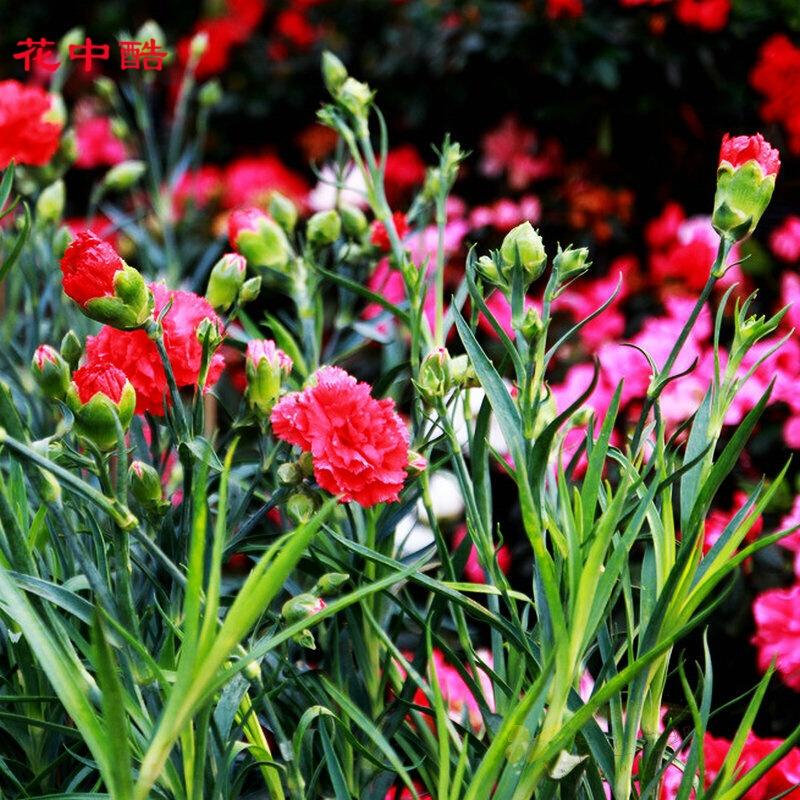 花中酷 切花康乃馨种子 彩包装
