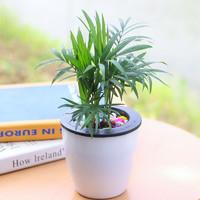 仟草集 光瓜栗24款盆栽可选 袖珍椰子