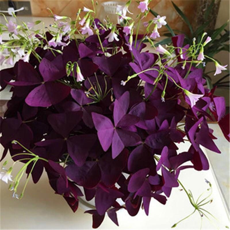 致荟树 紫叶草种子 20种球+2包肥