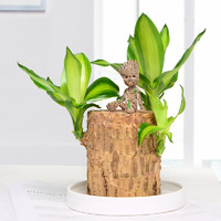 半径风景 巴西木 6-7cm (白色陶瓷盘+特鲁特) 含盆
