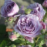 半径风景 藤本月季花苗欧月玫瑰蔷薇爬藤攀援花卉庭院阳台盆栽植物 花环2棵 带土球发货