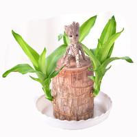 畅腾 水养幸运木 塑料托盘+格鲁特高10cm 含盆
