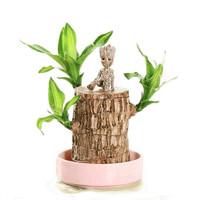 致荟树 巴西木水培植物 直径6cm(巴西木+粉瓷盆+格鲁特+营养液)