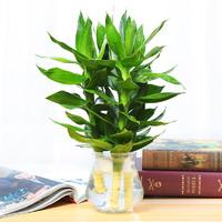忆秋 水培观音竹 包含花瓶