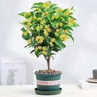桂花树苗盆栽超长花期浓香型花卉 四季桂 精品3年苗2棵(当年开花)
